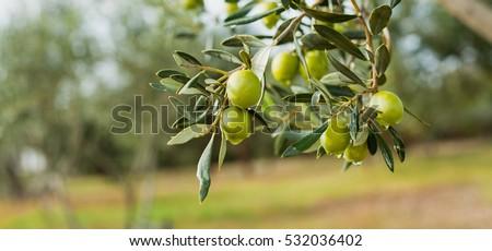 Green Olives Tree Сток-фото ©