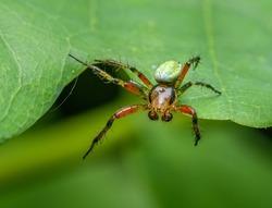 green orb weaver spider (Araniella opisthographa) on a leaf