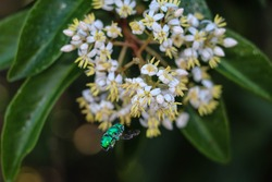 Green Orchid Bee Buzzing Flowers