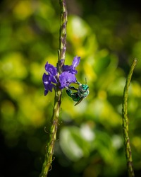 Green orchid bee (Euglossa dilemma) nectaring on a poterweed flower (Stachytarpheta sp.).