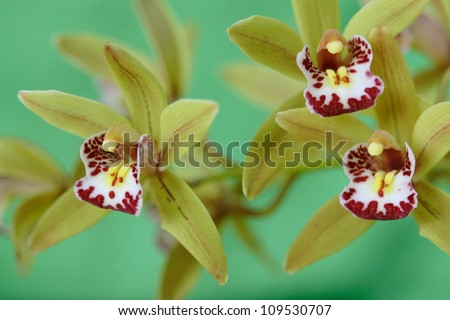 Green orchids / phaelenopsis exotic tropical flower , close up. Hawaii, Maui, USA