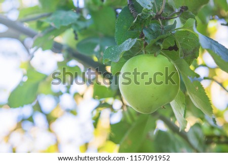 Green organic apple on the tree branch  with lens flare