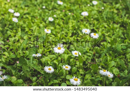 Green Organic Home Lawn with Blooming White Daisies, White flowers with yellow centers on green grass #1483495040