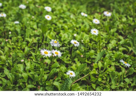 Green Organic Home Lawn with Blooming White Daisies, White flowers with yellow centers on green grass #1492654232