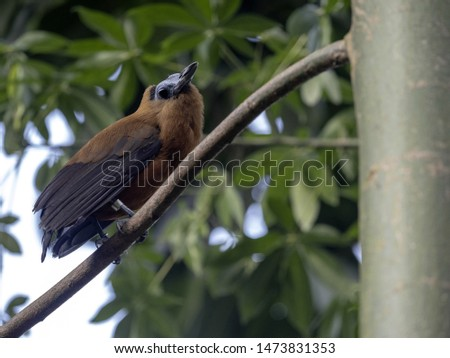 Green Oropendola, Psarocolius viridis, plaiting with grass large nests in branches