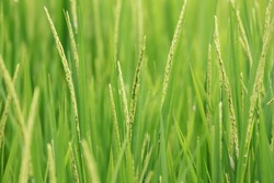 Green paddy field background