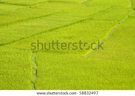Green paddy field background in Madagascar