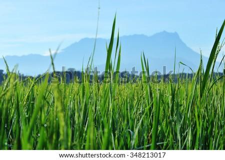 Green paddy fields, with mount kinabalu on background, location Kota Belud, Sabah, Malaysia. (Shallow DOF, slight motion blur) #348213017
