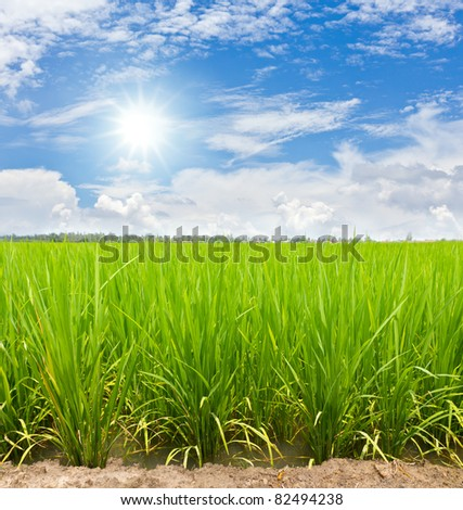 Green paddy rice field under the sunbeam and cloud in blue sky