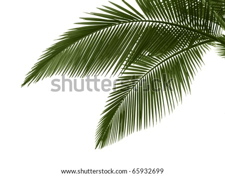 Green palm leaves isolated on white background.