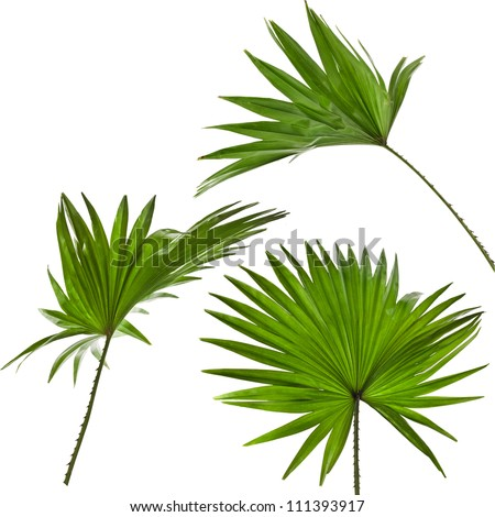 green palm leaves (Livistona Rotundifolia palm tree) set  isolated