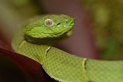Green Palm Pit Viper (Botriechis lateralis). Found at night in Monteverde, Costa Rica.