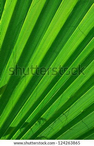 Green palm tree leaf background closup