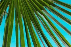 Green palm tree leaf close up on blue background - palm leaf details in the blue sky - tropic summer holiday paradise beach vibes