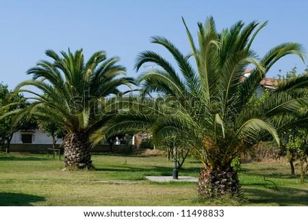 Green palm tree mediterranean garden under summer sun