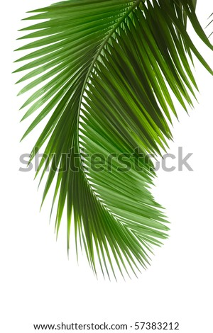 Green palm tree on white background #57383212