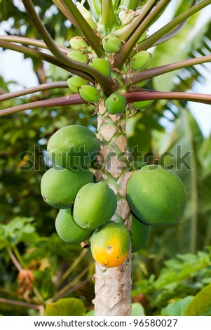 green papaya growing on a tree