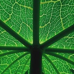 green Papaya  leaf and natural few