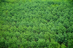 Green para rubber tree forest aerial view agricultural industry