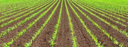 Green parallel lines of a young corn field in May. The field is just plowed and the ground is moist and clean of weeds . Maize plants just started to sprout and stalks are a few inches high.