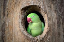 Green parrot.