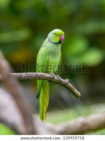 green parrot bird on wood branch