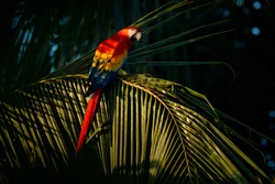 Green parrot in the tree leaves. Scarlet Macaw, Ara macao, in dark green tropical forest. Big red parrot in the nature habitat, hidden in the palm leaves in Costa Rica.