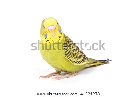 Green parrot isolated on a white background