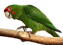Green parrot walks