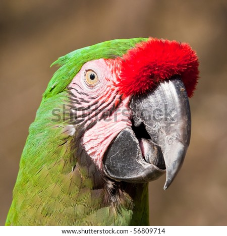 Green Parrot with red feathers on beak talking in the sunshine