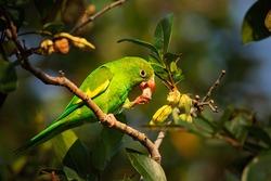 Green parrot, Yellow-chevroned Parakeet, Brotogeris chiriri, bird in the nature tree habitat eating fruit, Pantanal, Brazil.