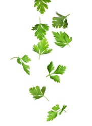 Green parsley leaves falling on white background