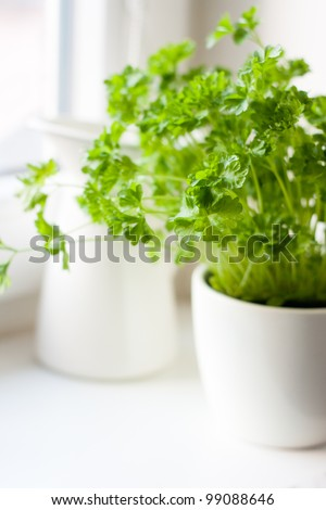 Green parsley (Petroselinum hortense) in a pot on a kitchen window #99088646
