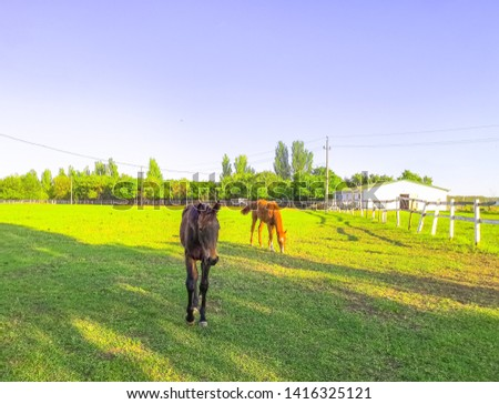 Green pastures of horse farms. Brown and gray horses eating a a grass at ranch summertime.  #1416325121
