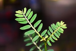 Green Phyllanthus Niruri leaves, commonly called Gale of the Wind, Stonebreaker or Seed-under-leaf, isolated on a dark and blurry background