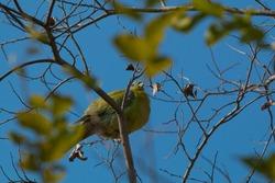 Green pigeon at Bharatpur Bird Sanctuary, Rajasthan, India