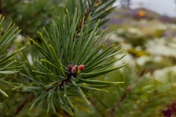 Green pine branch with buds close up