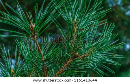 green pine branches #1161410644