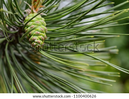Green pine cone in a Pine Tree #1100400626