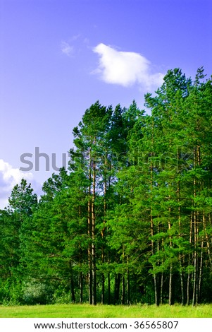 green pine forest and blue sky