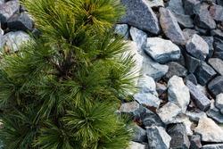 Green pine grows among granite stones. Calm garden landscape.