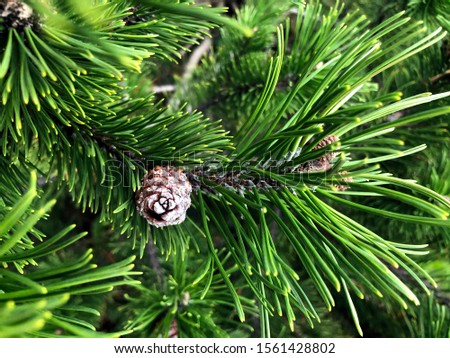 Green pine tree and pine cones. #1561428802