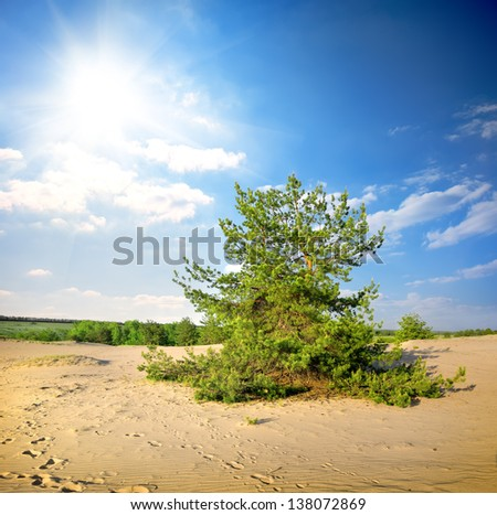 Green pine tree in the desert in the afternoon