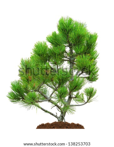 green pine tree, isolated over white