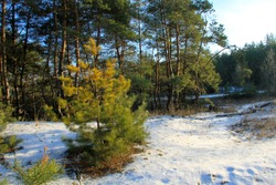 Green pine trees in the forest on winter