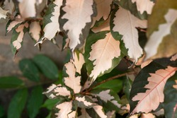 green pink striped foliage, pink spotted color leave, sweet pink green foliage plant