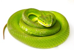 Green pit viper(Asian pit viper) isolated on white