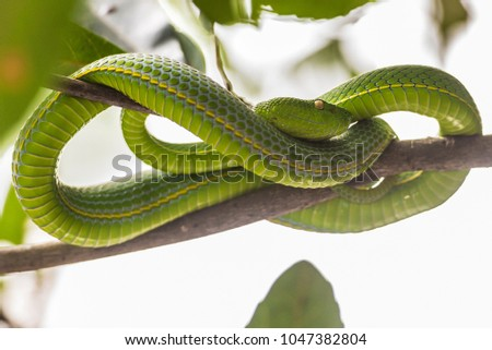 Green pit viper on a branch