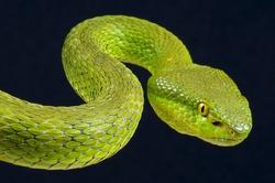 Green pit viper / Trimeresurus albolabris