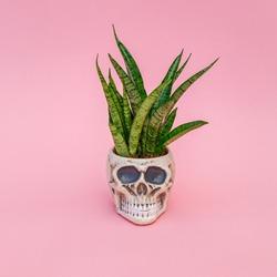 Green plant and decorative Skull Planter on pink background. Human Skull Head Design Flower Pot with green Succulent. Halloween skull head with flowers